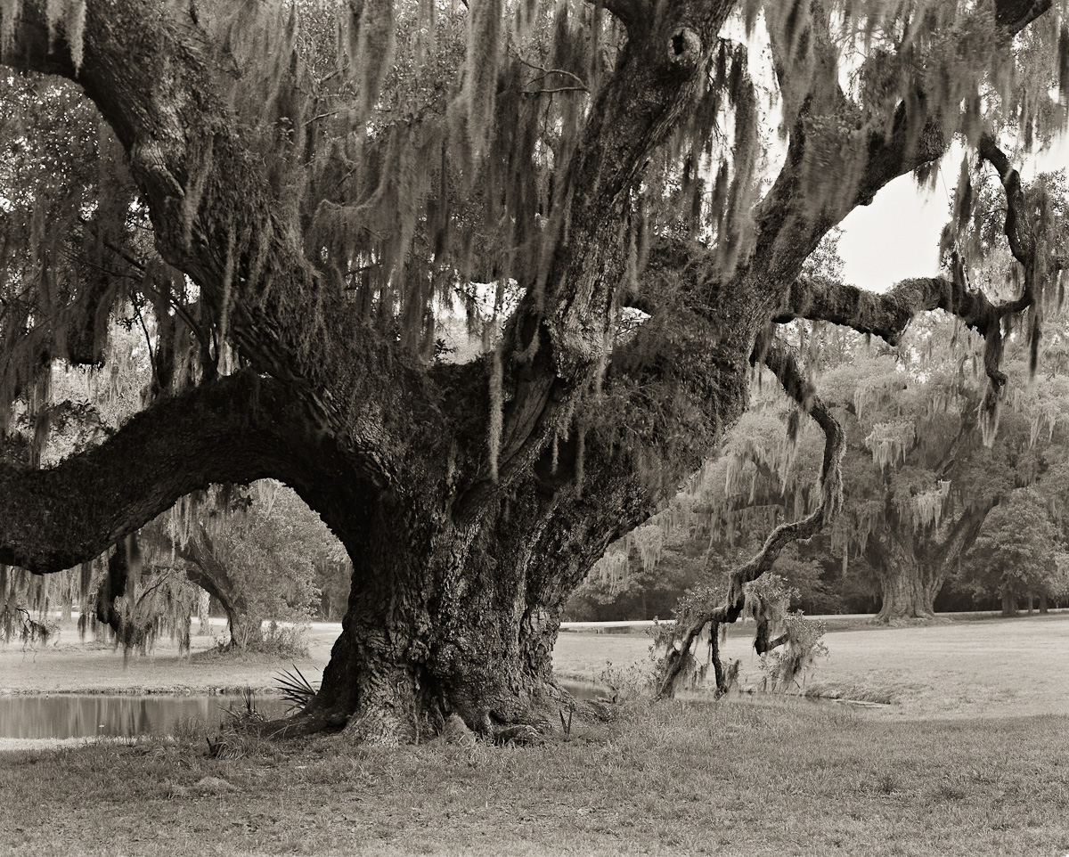 Ancient Oak, Drayton Hall Plantation, Charleston, SC